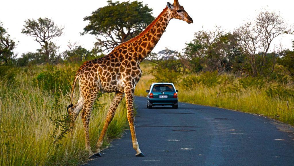 南アフリカのサファリで出会ったキリン