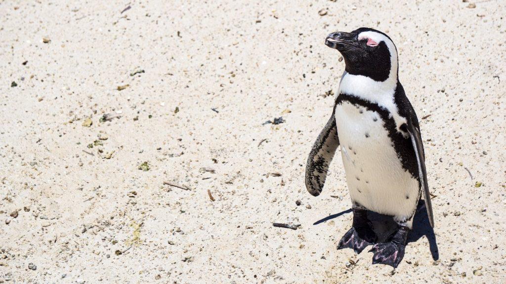 ボルダーズビーチに生息するアフリカペンギン
