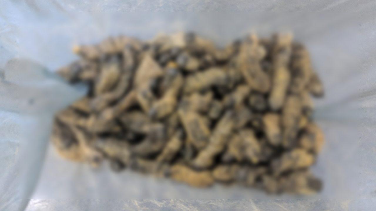 南部アフリカで食べられる芋虫モパネワーム