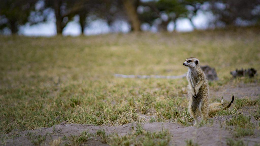 ボツワナの野生のミーアキャットの立ち姿