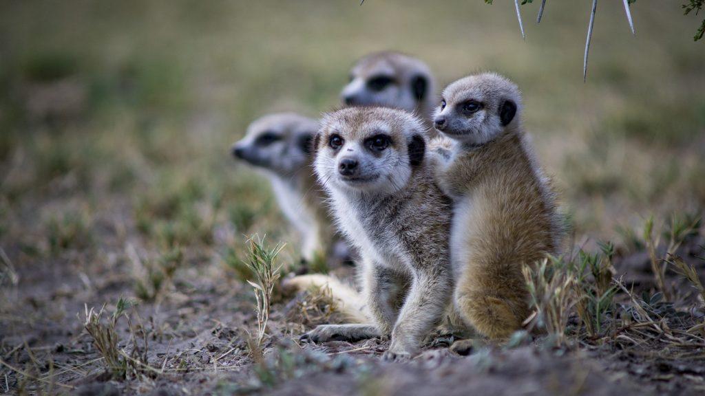 ボツワナの野生のミーアキャット家族連れ