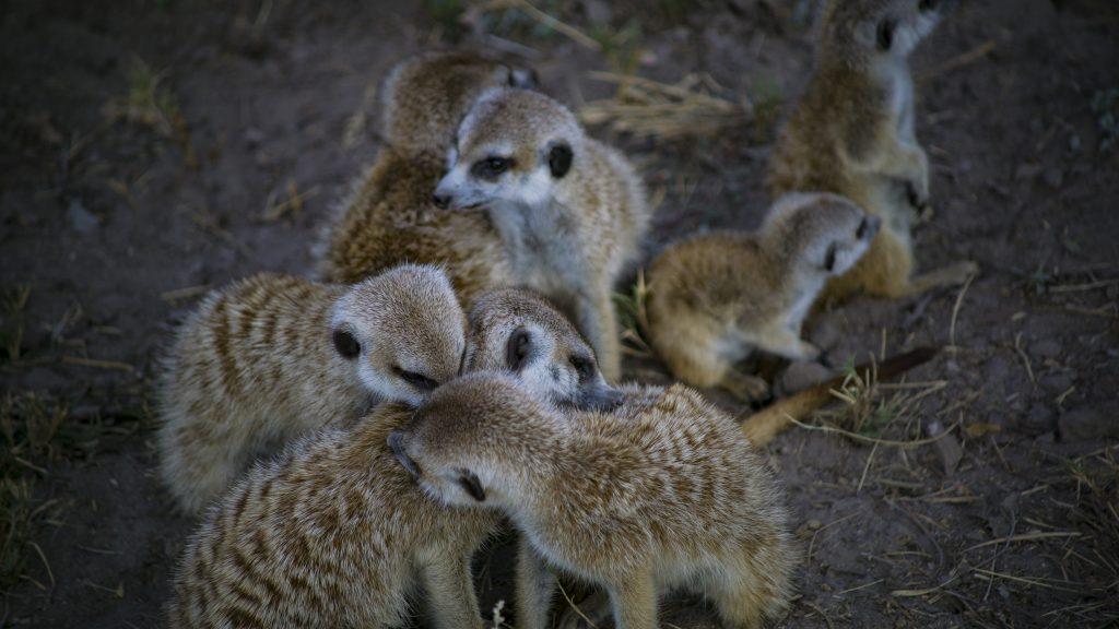 ボツワナの野生のミーアキャット毛づくろい中