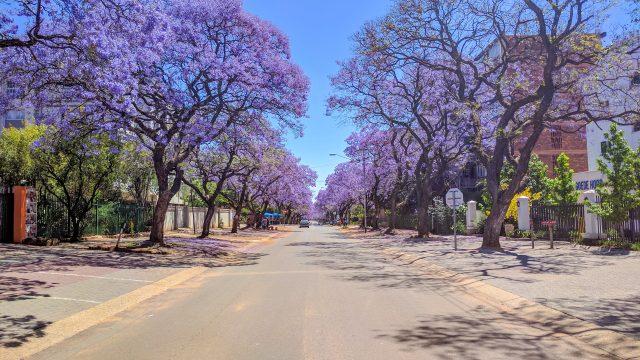南アフリカ・プレトリアのジャカランダ