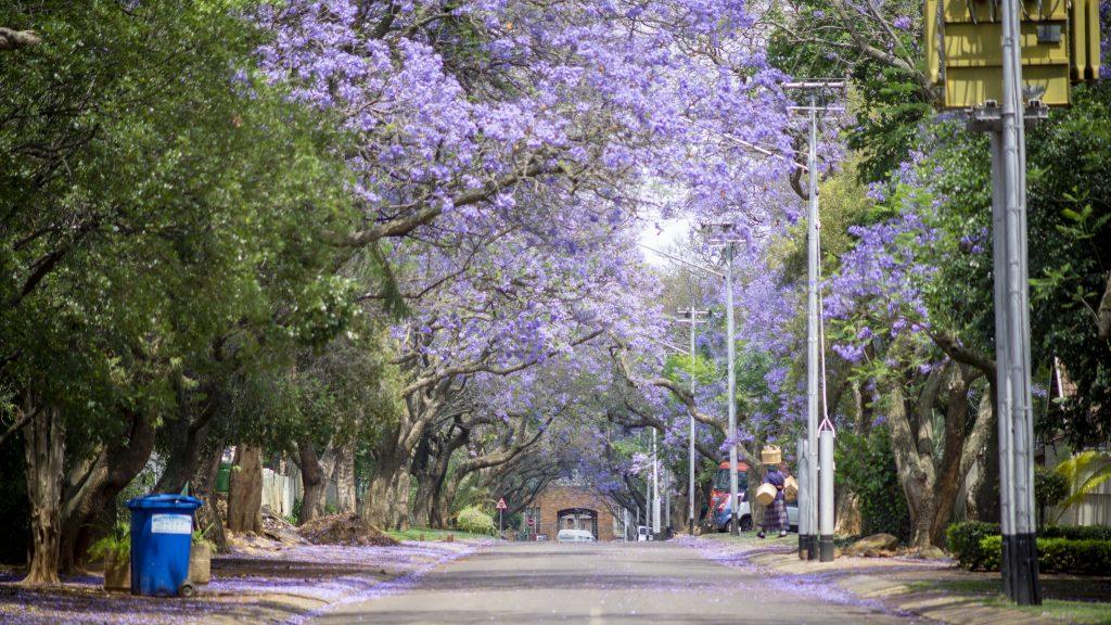これが2018年、南アフリカ・プレトリアのジャカランダ