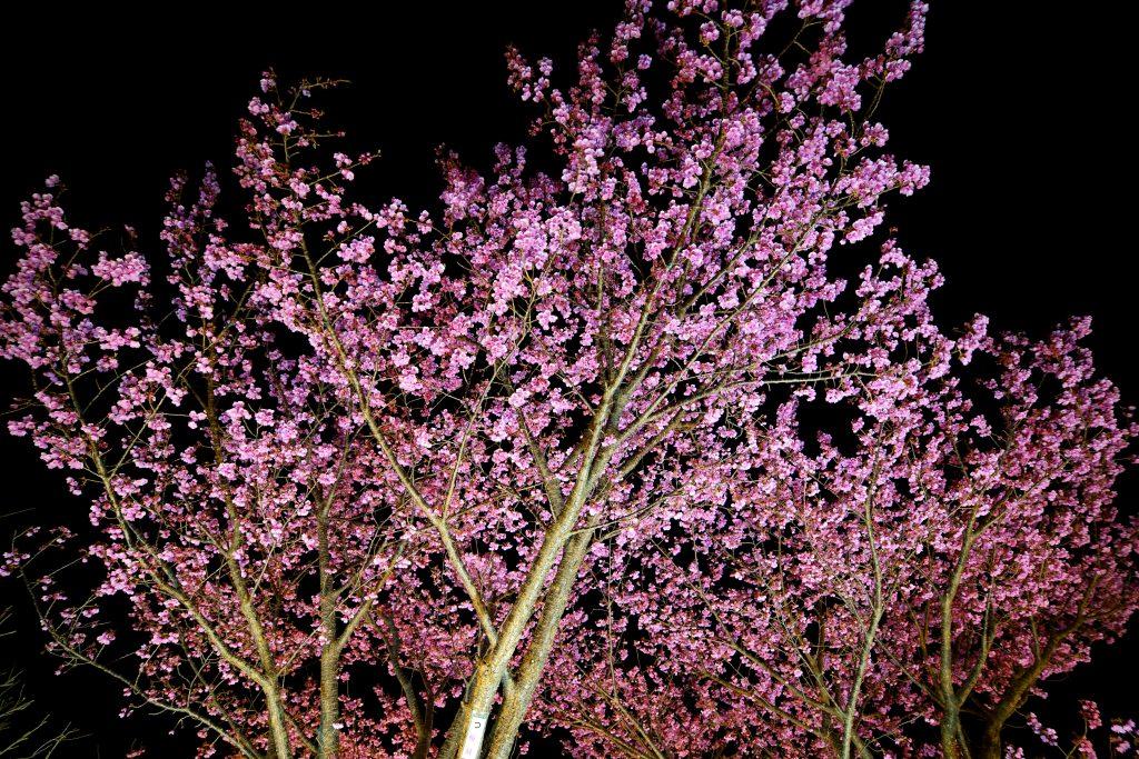 これが2019土肥桜まつりだ!(大量写真)