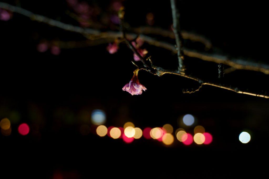 2019土肥桜まつり夜桜の写真