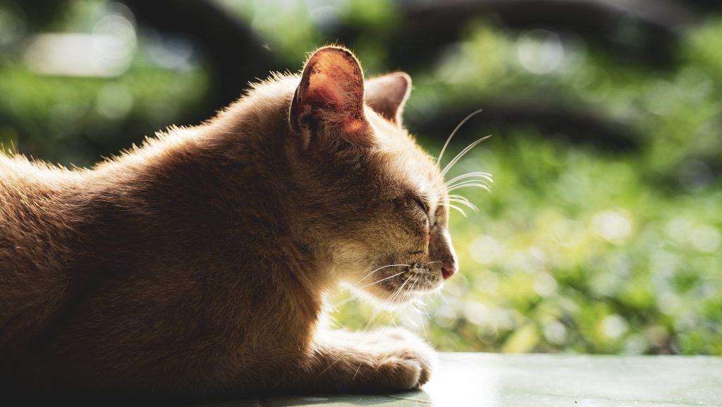 【ヤンゴン】チャウタッジー寝釈迦仏にいた猫