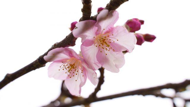 【2019】みなみの桜と菜の花まつりの桜を大量写真で紹介|静岡県南伊豆