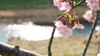 【2019】静岡県伊豆の主要な桜まつりを写真で振り返る【早咲き河津桜】