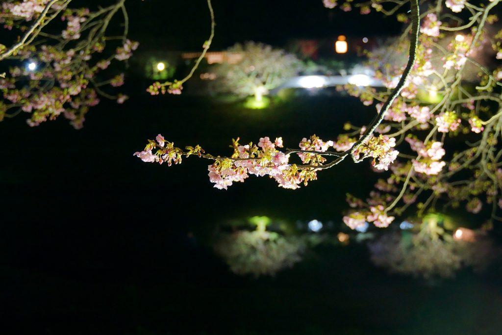 2019南伊豆桜まつりライトアップ夜桜の写真