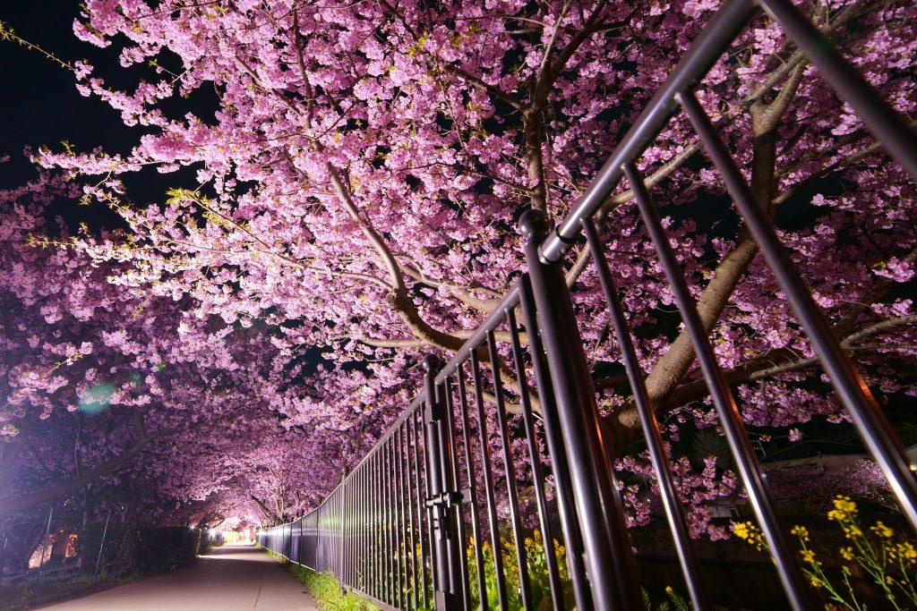 2019河津桜まつり - ライトアップ夜桜の写真
