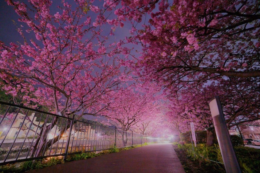 2019河津桜まつり