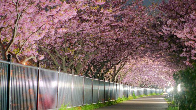【2019】静岡伊豆- 河津桜まつりを写真で振り返る【ライトアップ夜桜】